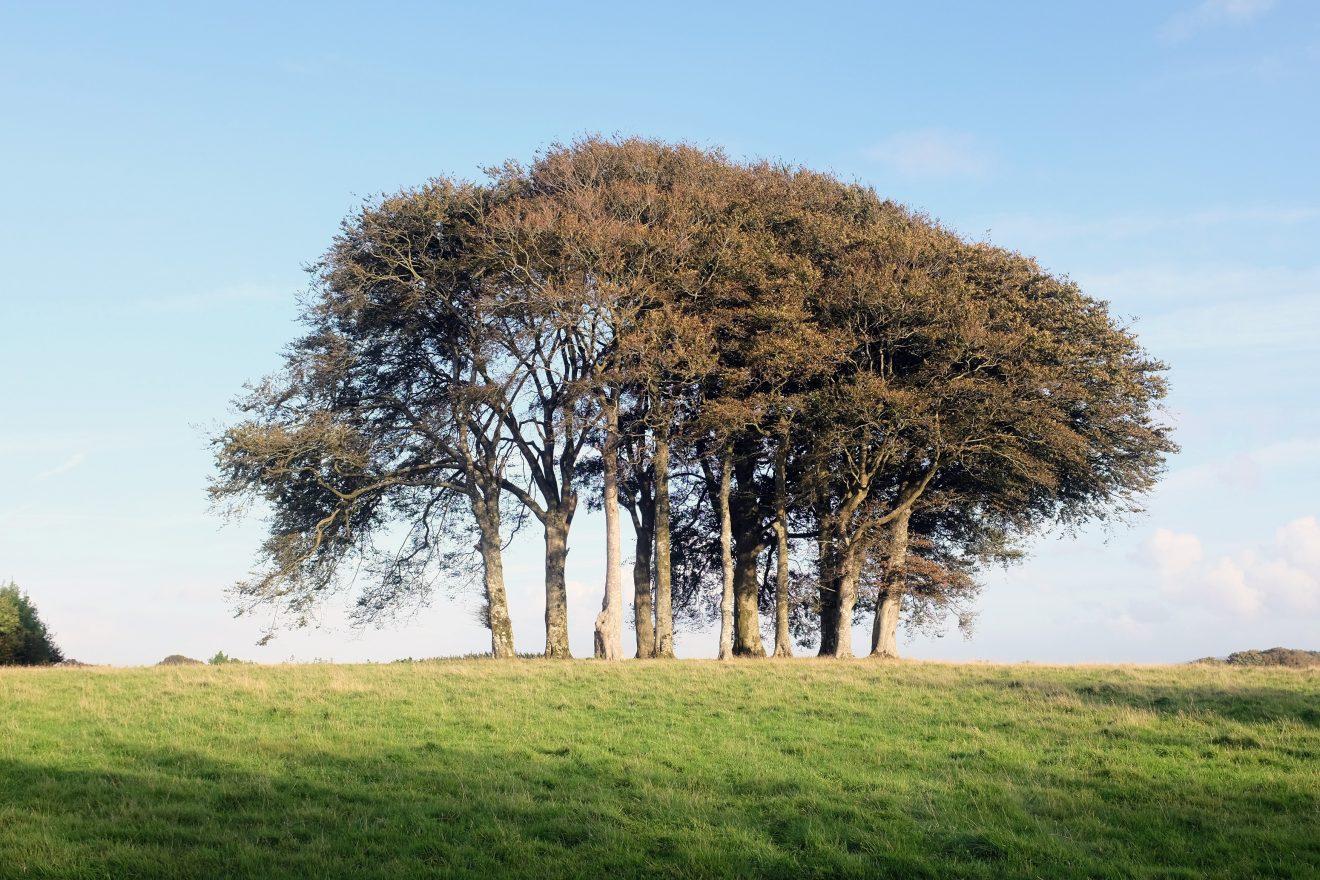 coombeshead-tree